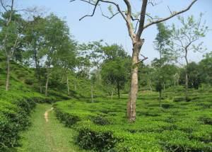 tea gardens near Sylhet