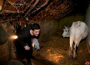 David Miliband in a north India cowshed - PTI pic