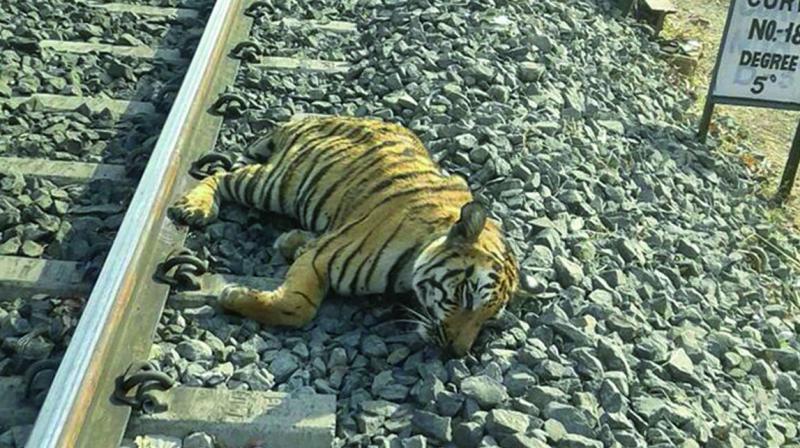 tiger railway track